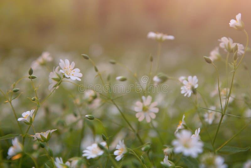 Kleine Weiße Blumen In Der Wiese Extrahieren Hintergrund Stockbild ...