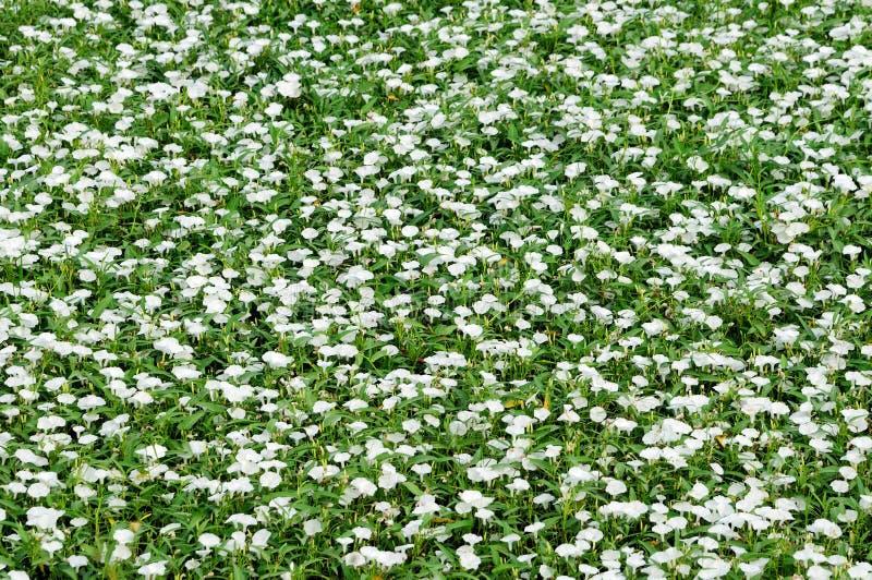 Kleine Weiße Blumen Des Reinweißes Stockbild - Bild von recht, fein ...