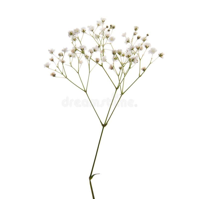 Kleine weiße Blumen getrennt auf Weiß stockfotografie