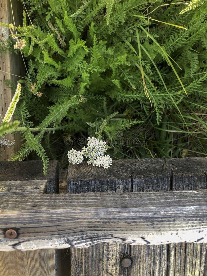 Kleine weiße Blumen-Grüns und hölzerne Weg-Weise stockfoto