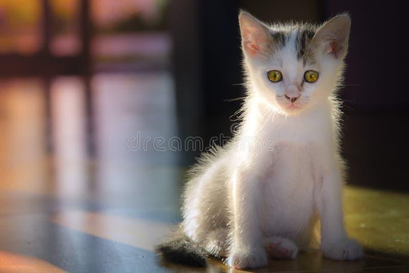 Kleine weiße Katzen lecken sich sauber selbst lizenzfreie stockbilder