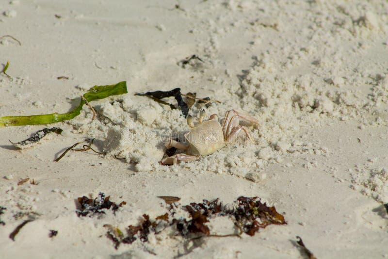 Kleine weiße Krabbe lizenzfreie stockfotografie