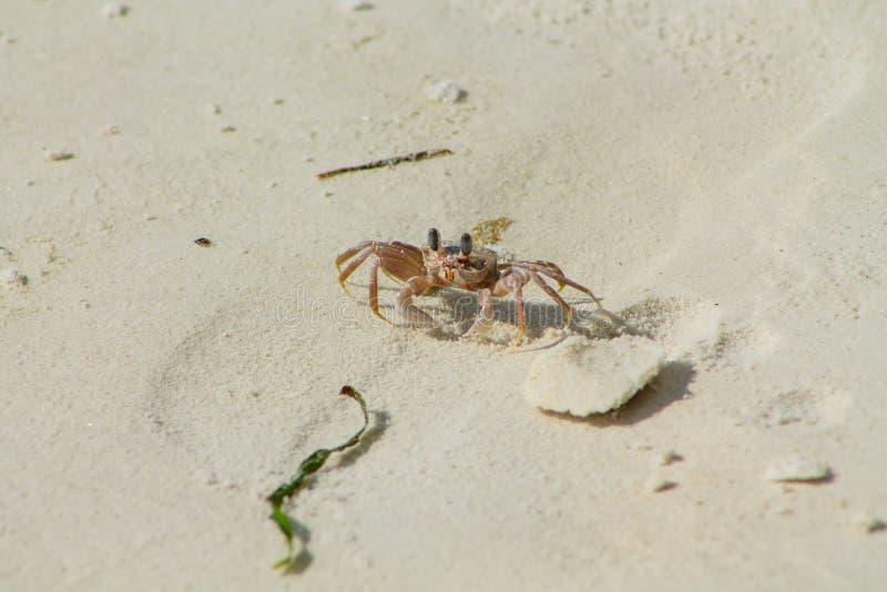 Kleine weiße Krabbe auf Sand lizenzfreie stockbilder