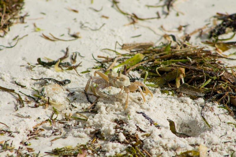 Kleine weiße Krabbe auf Sand stockfotografie