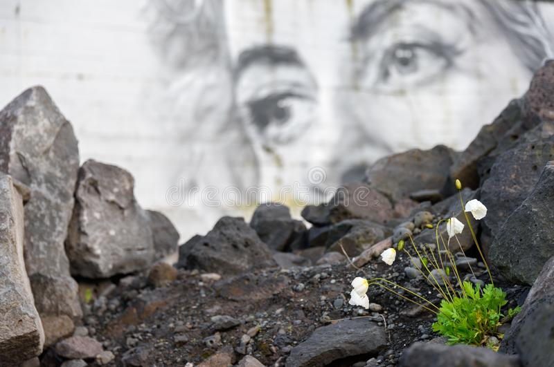 Kleine weiße Mohnblume blüht das Blühen im städtischen Ödland mit Wandgemälde auf dem Hintergrund stockfotos