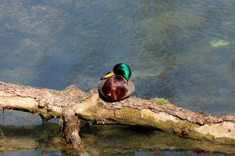 Kleine wilde eend met groene hoofd en bruine veren die en bovenop boomlogboek zitten rusten die in lokale rivier drijven royalty-vrije stock afbeeldingen