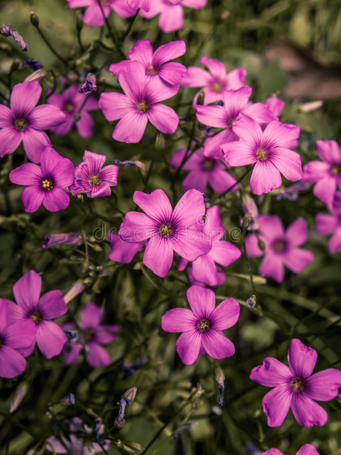 Kleine Wilde purpere bloemen stock fotografie