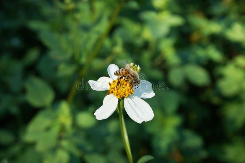 Kleine witte bloem Spaanse naald met bijen zuigende nectar stock foto's