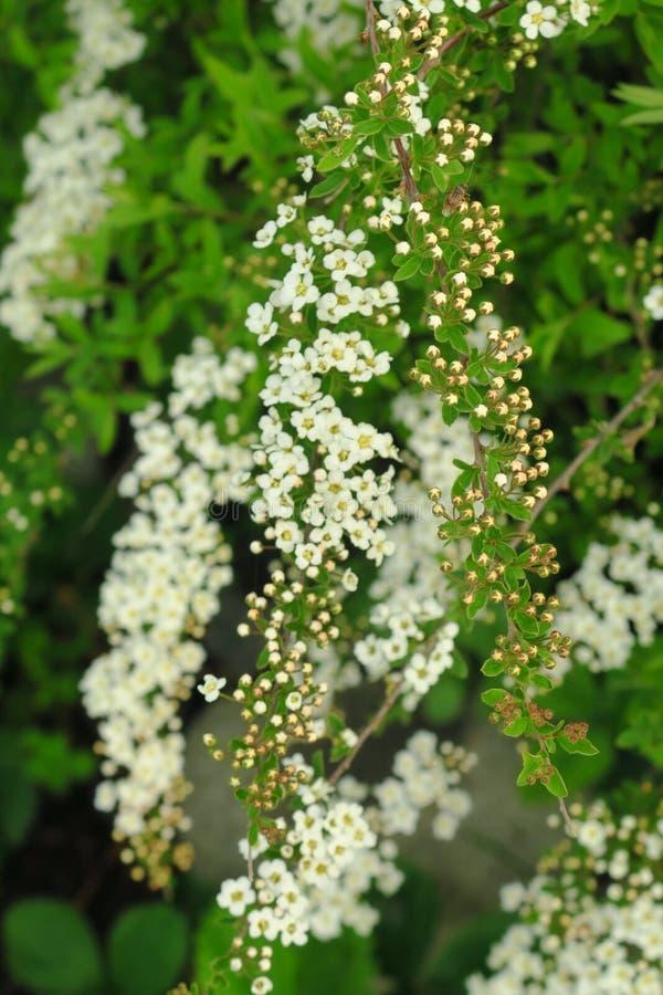 Kleine, witte bloemen in weelderige clusters langs bladspirea-struiktakken stock foto