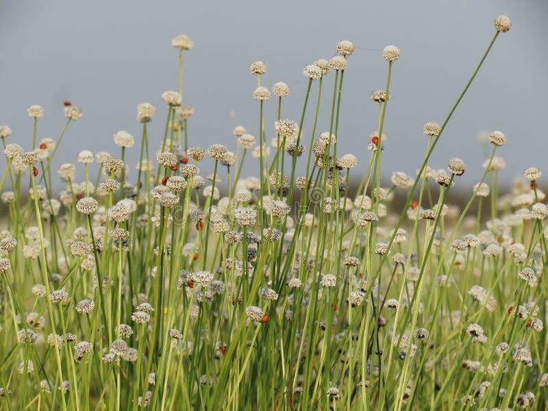 Kleine witte bloemenbloesem die in de weide bloeien Lieveheersbeestje op w royalty-vrije stock afbeelding
