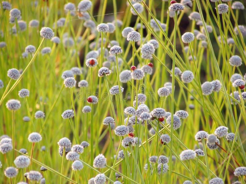 Kleine witte bloemenbloesem die in de weide en het lieveheersbeestje o bloeien royalty-vrije stock foto