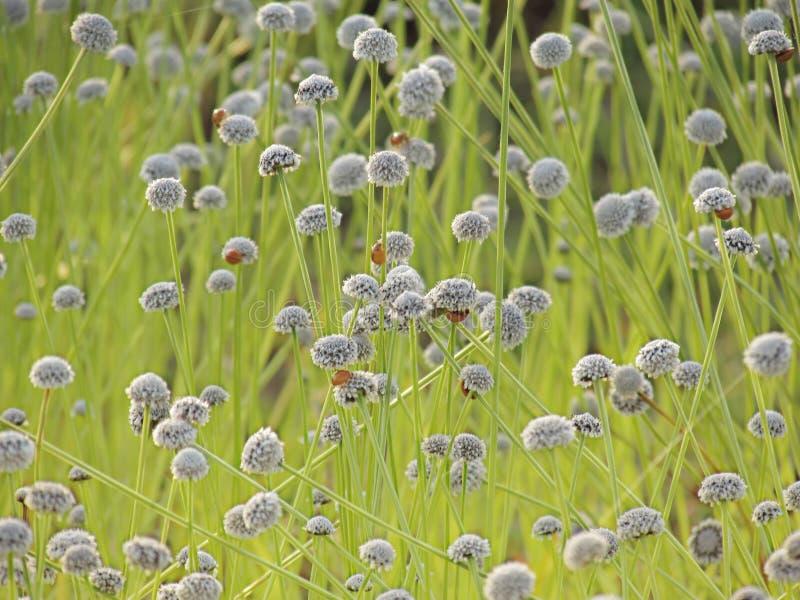 Kleine witte bloemenbloesem die in de weide en het lieveheersbeestje o bloeien royalty-vrije stock afbeelding