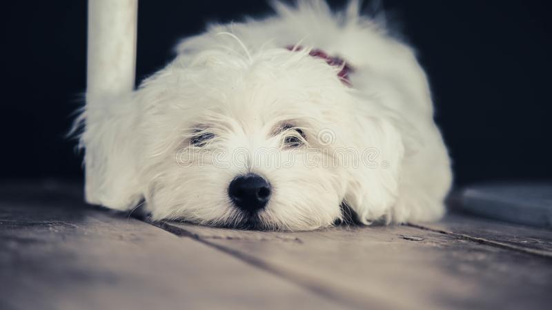 Kleine witte hond die op vloer liggen royalty-vrije stock afbeelding