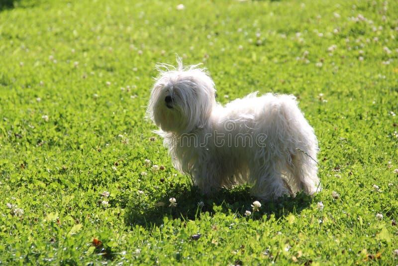 kleine witte lapdog op een groen gras op een zomernamiddag royalty-vrije stock afbeeldingen