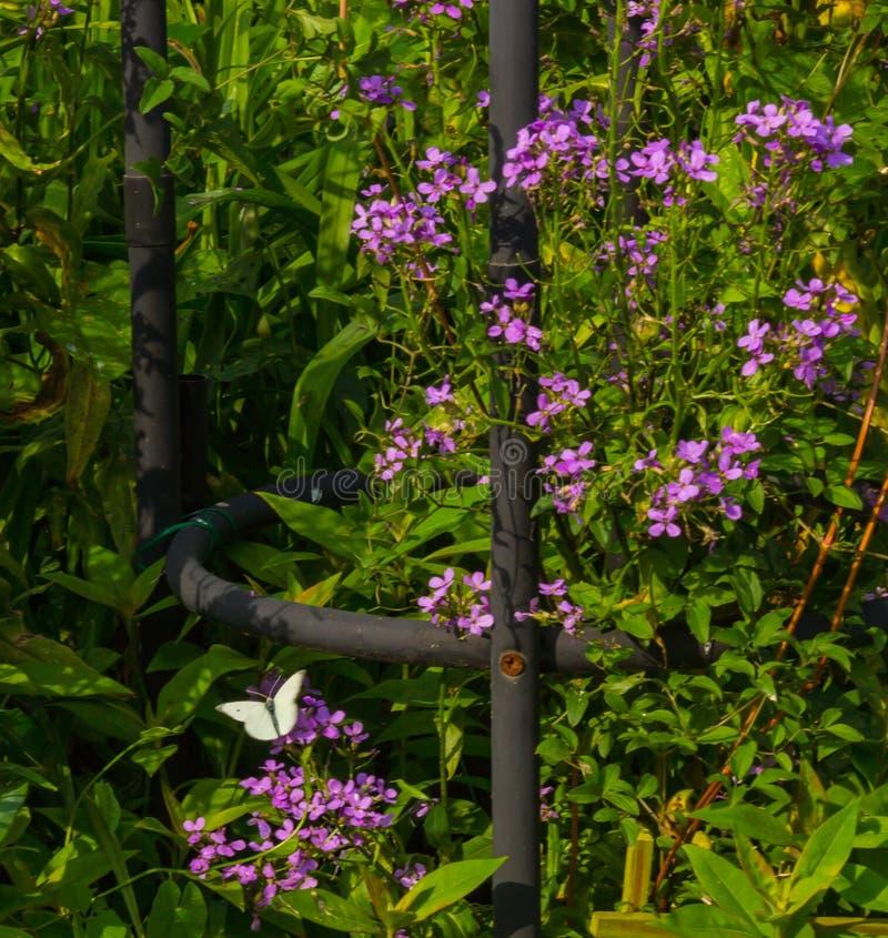 Kleine Witte Vlinder op Gevoelige Purpere bloesems op groen stock foto