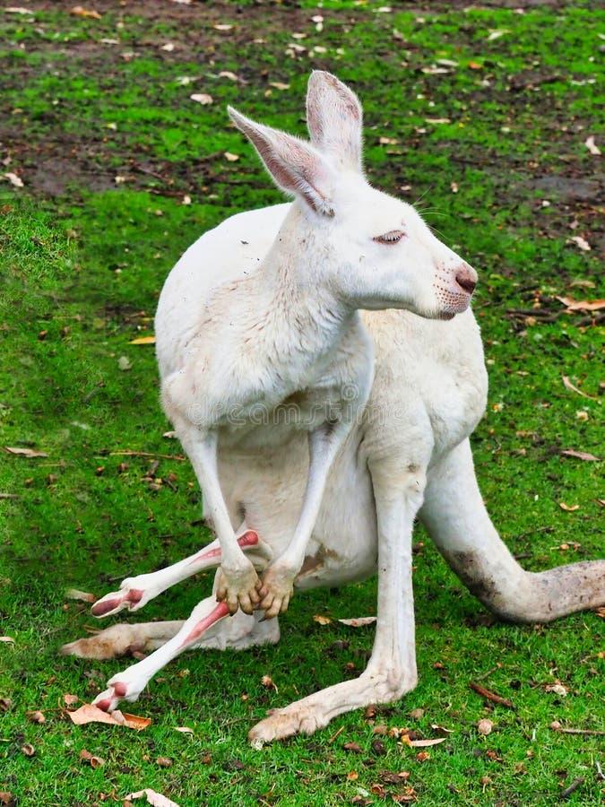Kleine Witte Vrouwelijke Kangoeroe met Baby Joey, Australië royalty-vrije stock afbeelding
