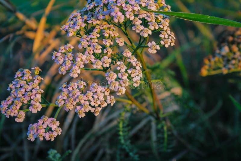 Kleine witte wilde bloemen die op gebied in Nieuw Zeeland groeien royalty-vrije stock fotografie