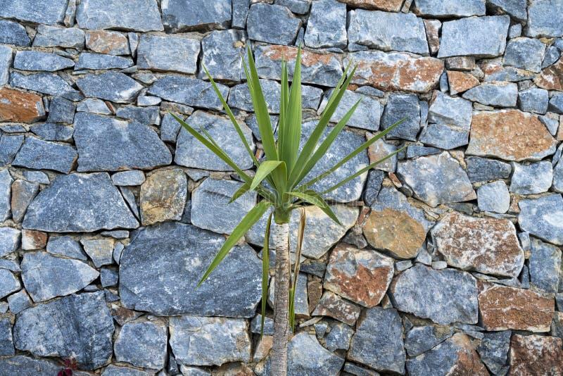 Kleine yucca-palmboom royalty-vrije stock afbeeldingen