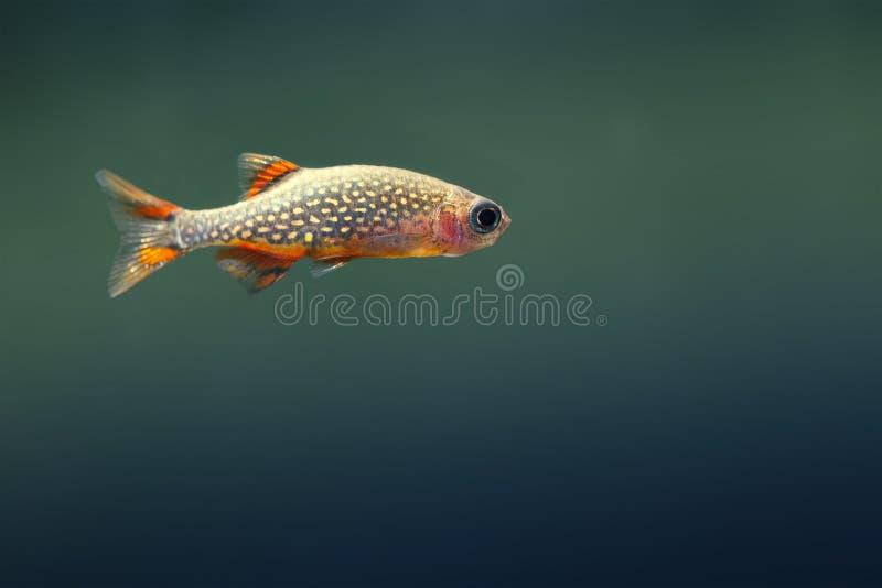 Kleine zeldzame Aquariumvissen Daniomargaritatus De ruimte van het exemplaar royalty-vrije stock foto