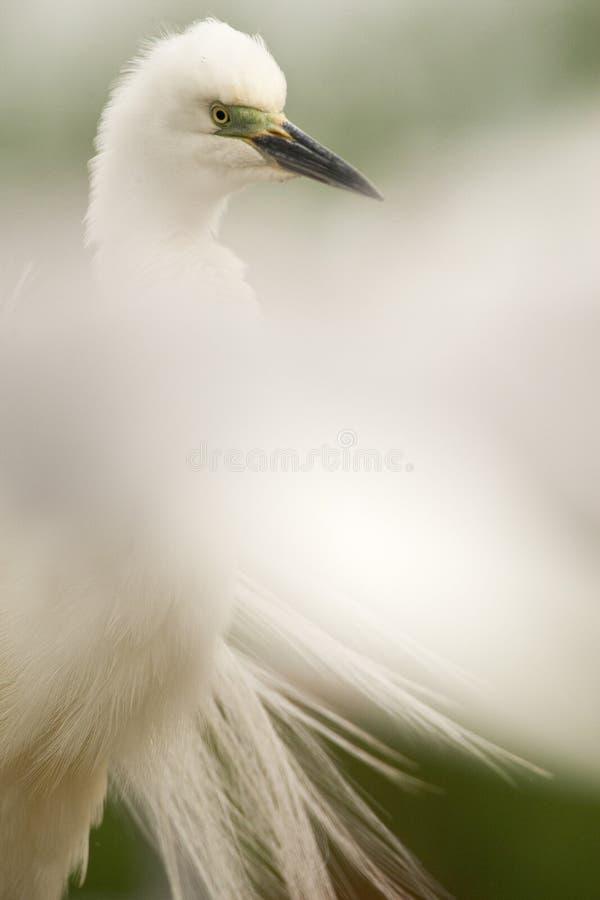 Kleine Zilverreiger, Little Egret, Egretta garzetta stock photos