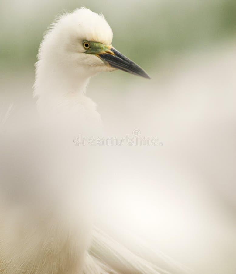 Kleine Zilverreiger, Little Egret, Egretta garzetta stock photography