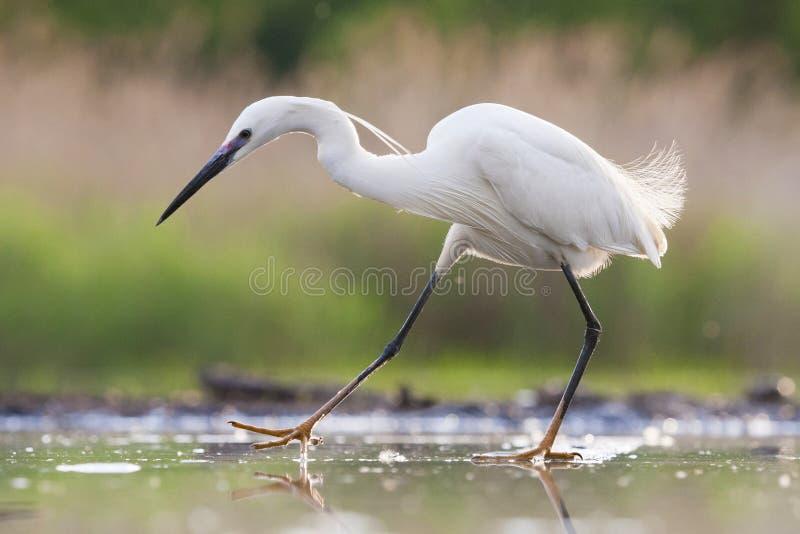 Kleine Zilverreiger, Little Egret, Egretta garzetta royalty free stock image