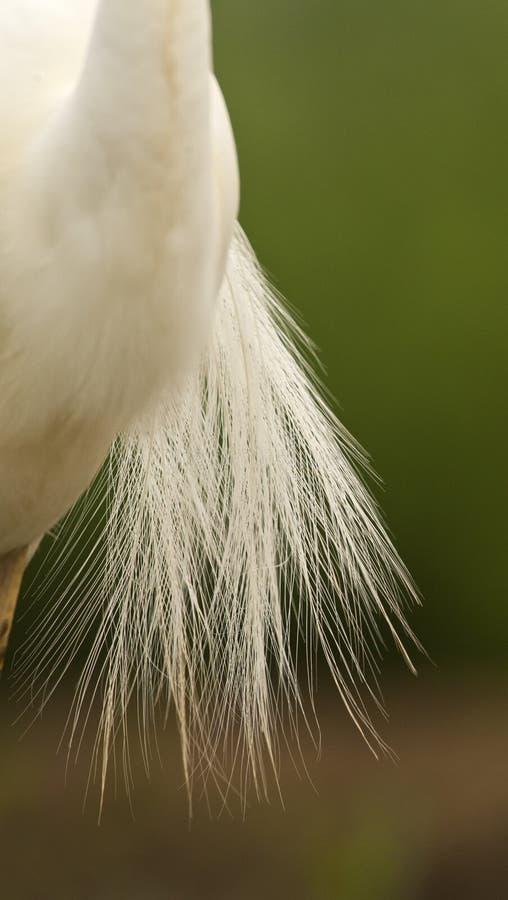 Kleine Zilverreiger, Little Egret, Egretta garzetta. Sierveren van Kleine Zilverreiger; Back feathers of a Little Egret royalty free stock images