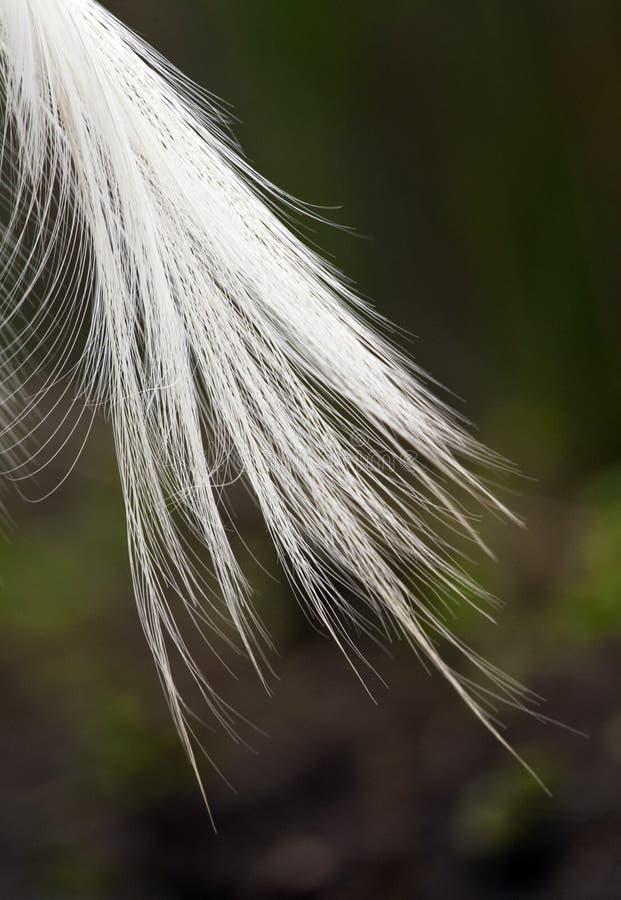 Kleine Zilverreiger, Little Egret, Egretta garzetta. Sierveren van Kleine Zilverreiger; Summer plumage feathers of a Little Egret stock images