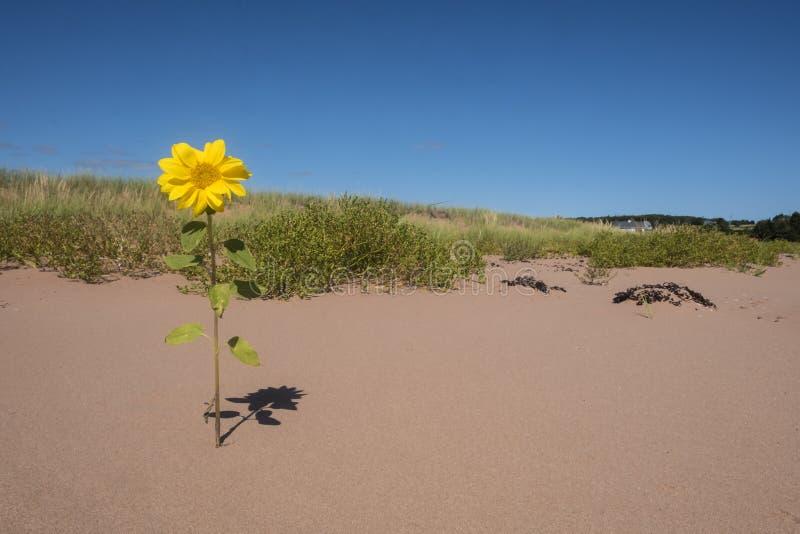 Kleine Zonnebloemen één die in een Zandduin #1 bloeien royalty-vrije stock foto