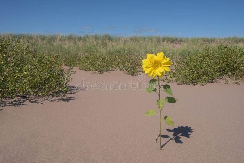 Kleine Zonnebloemen één die in een Zandduin #2 bloeien stock afbeelding
