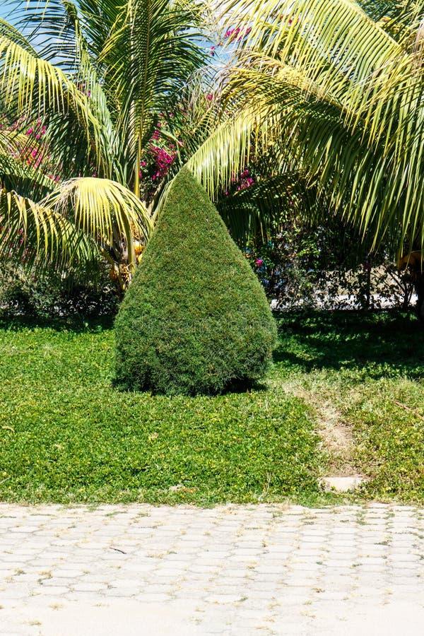 Kleine Zypresse von einem Garten lizenzfreie stockbilder