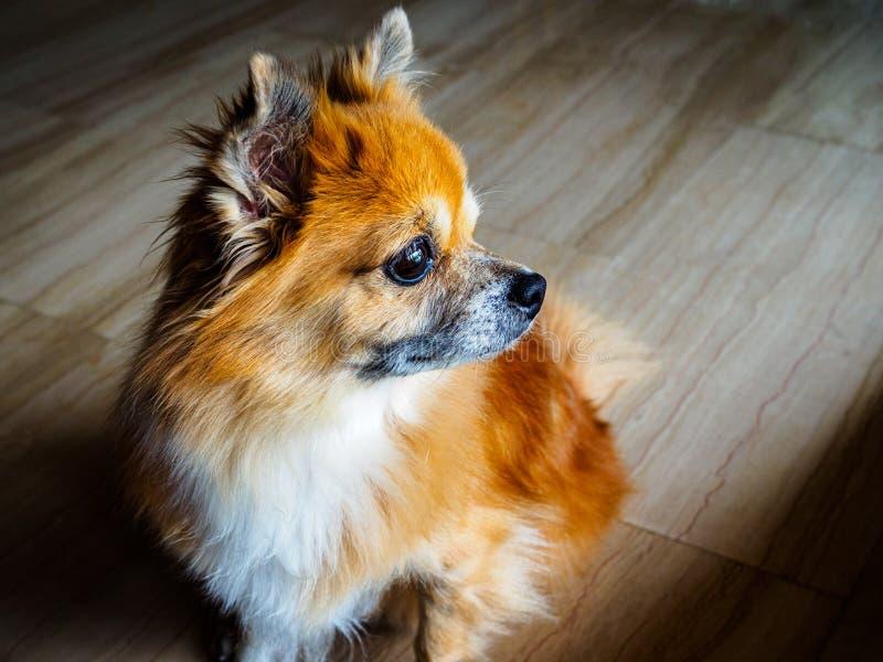 Kleiner älterer Mischzuchtrettungshund des pomperanian und Chihuahuavorrates sitzt und starrt in den Abstand mit einem nachdenkli lizenzfreie stockfotografie