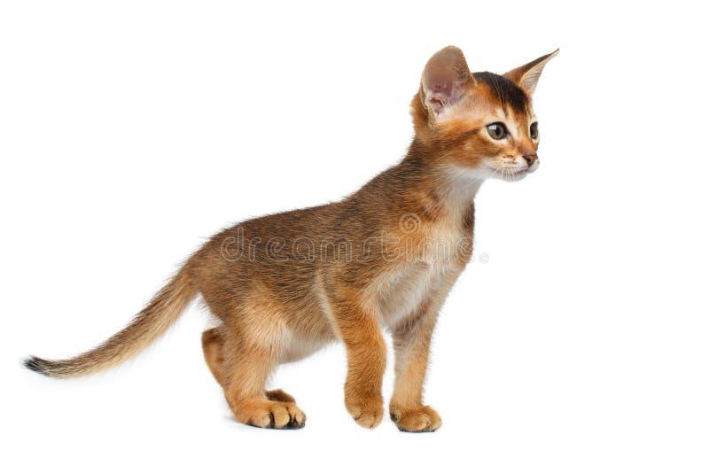 Kleiner Abyssinier Kitty Walking auf lokalisiertem weißem Hintergrund stockfotografie