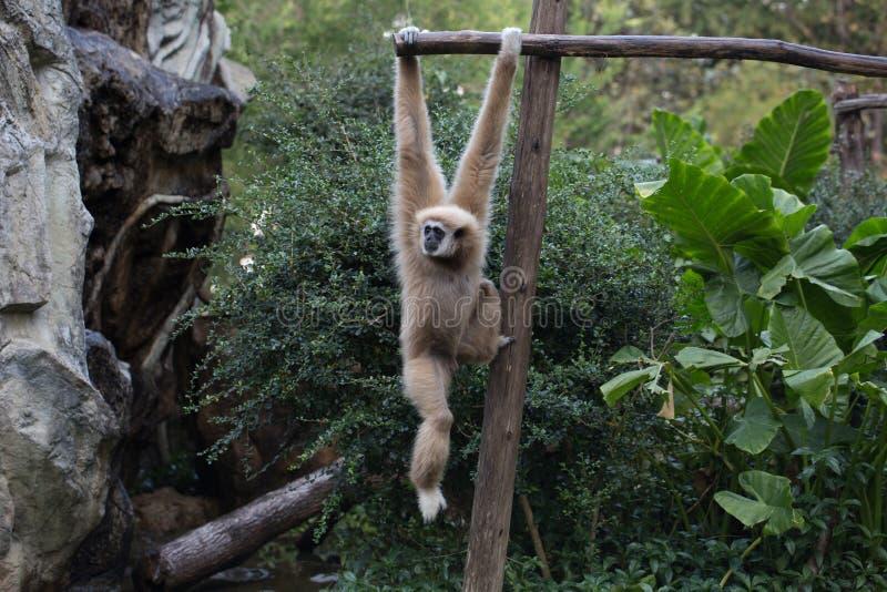 Kleiner Affe, der am Baum hängt stockfoto