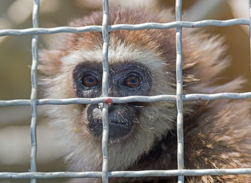 Kleiner Affe hinter den Zoobars lizenzfreies stockfoto