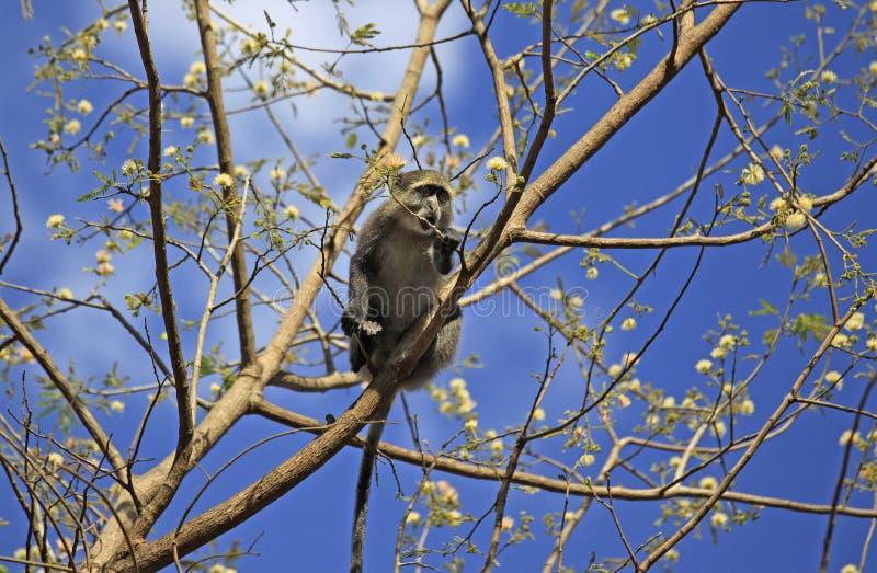 Kleiner Affe, Selous-Spiel-Reserve, Tansania lizenzfreie stockfotografie
