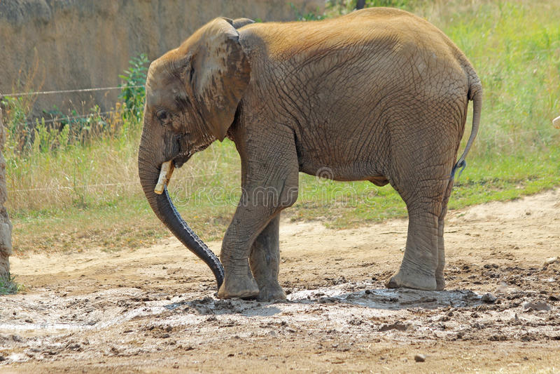 Kleiner afrikanischer Elefant am Indianapolis-Zoo stockbild