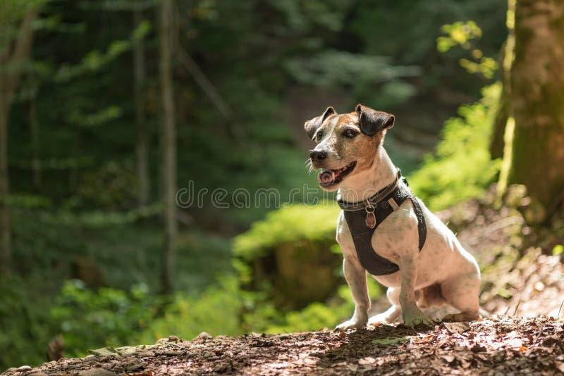 Kleiner alter lustiger Jack Russell Terrier-Hund sitzt ergeben in einem sonnigen Wald lizenzfreie stockbilder