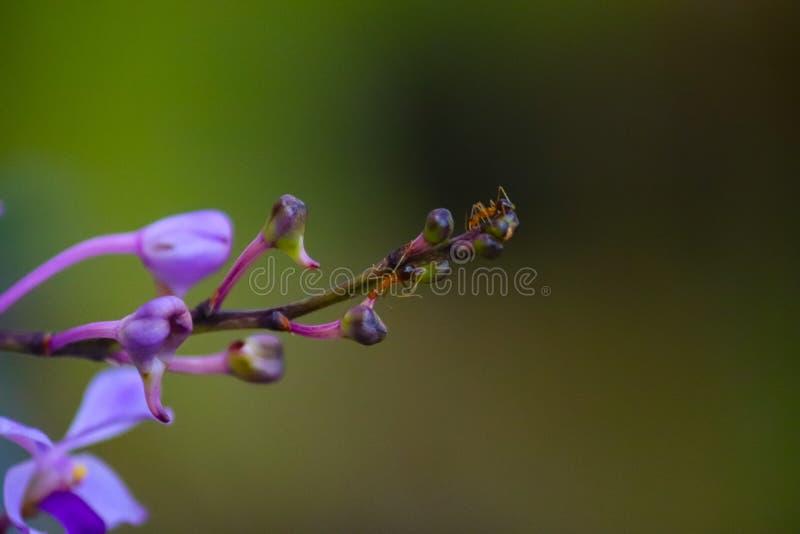 Kleiner Ameisenlauf auf purpurroten Orchideen lizenzfreie stockbilder