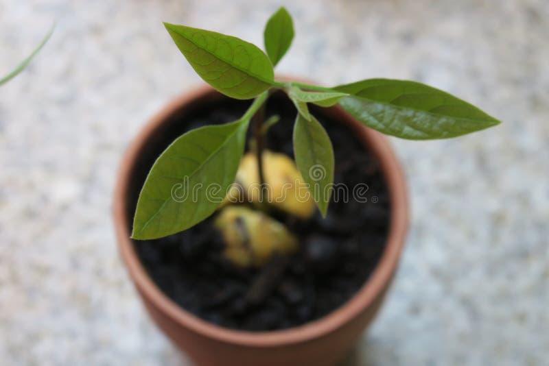 Kleiner Avocado-Baum stockfoto