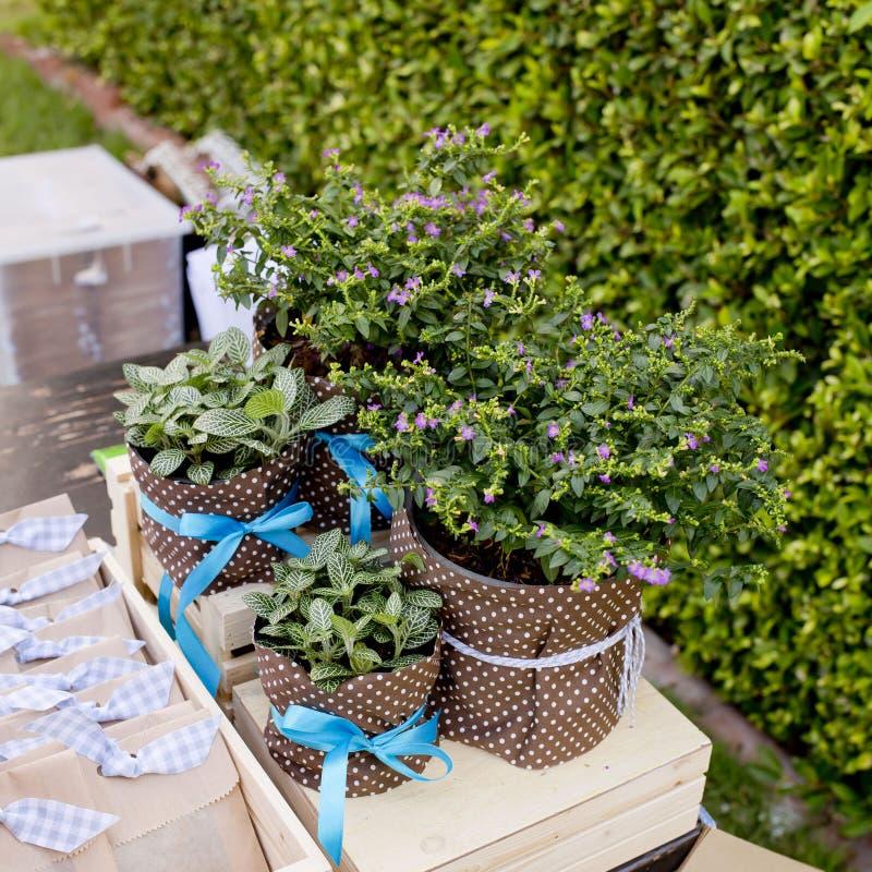 Kleiner Baum Cuties in den Blumentöpfen und Band sind Geschenk für Special lizenzfreie stockfotografie