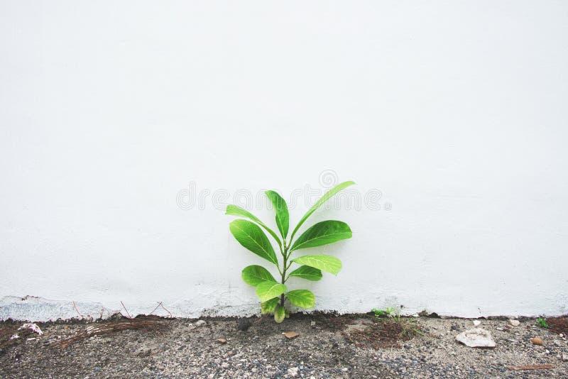 Kleiner Baum, der auf Zementboden, weiße konkrete alte Wand, Naturhintergrund wächst stockfotografie