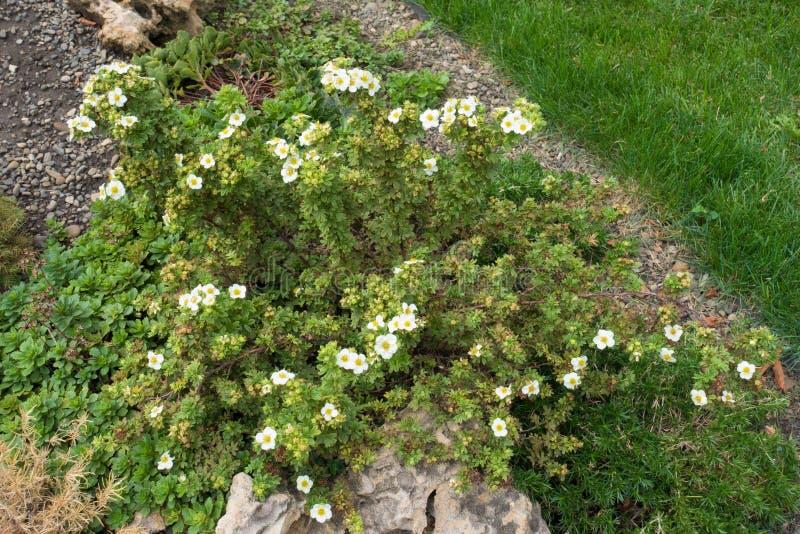 Kleiner blühender Strauch von Dasiphora-fruticosa im Steingarten lizenzfreie stockbilder