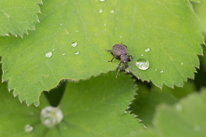 Kleiner brauner europäischer Käfer, schwarzer Rebrüsselkäfer, auf grüner Dame lizenzfreie stockbilder