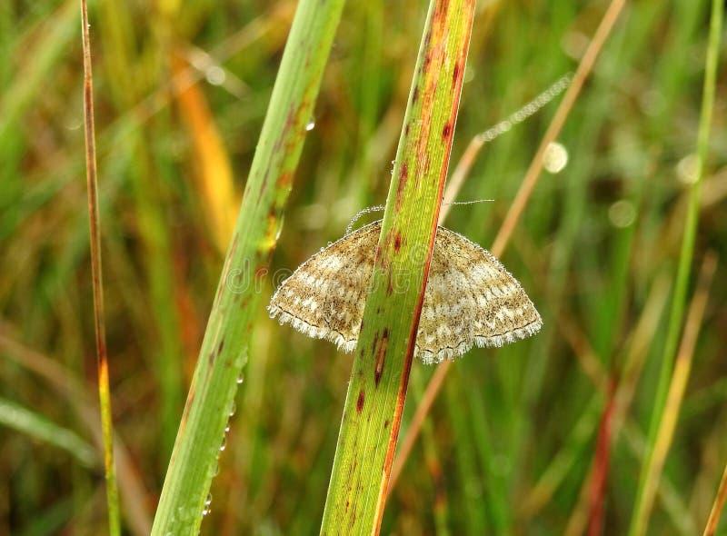 Kleiner brauner Schmetterling auf Gras, Litauen lizenzfreie stockfotos