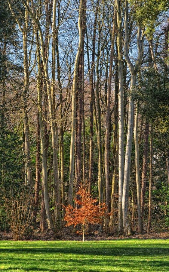 Kleiner Buchenbaum mit Gestrüpp von großen Bäumen hinten stockfotos
