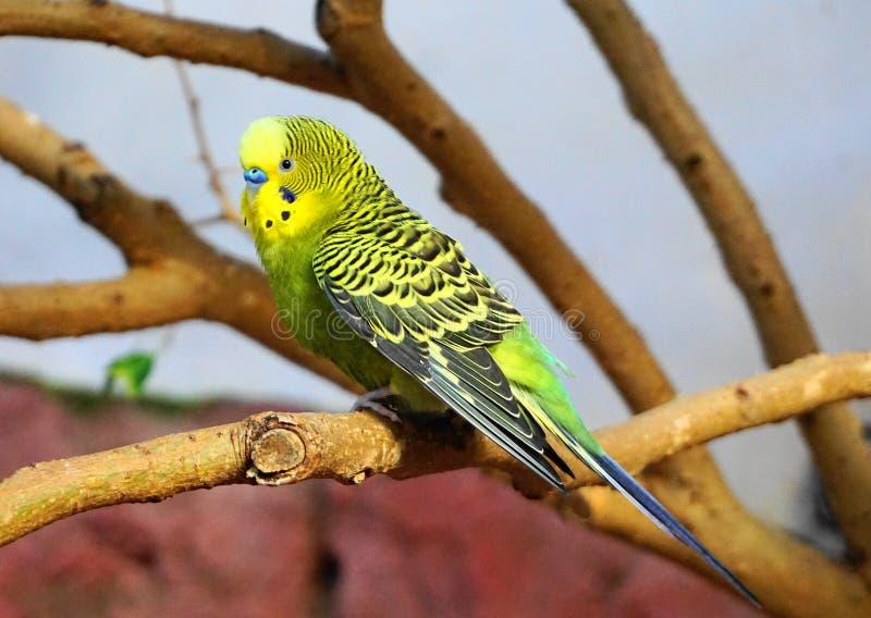 Kleiner bunter Papagei auf dem Niederlassungsabschluß oben lizenzfreie stockfotos