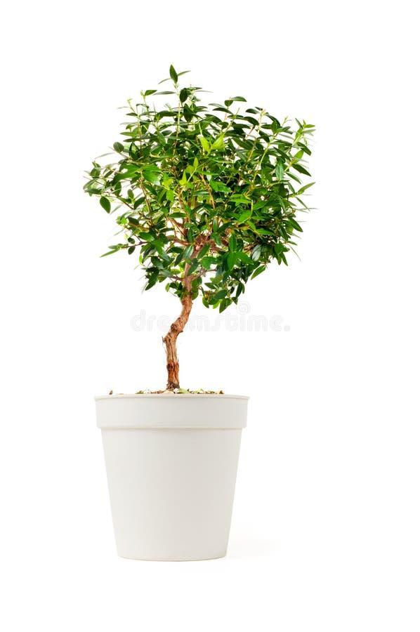 Kleiner dekorativer Baum stockfoto