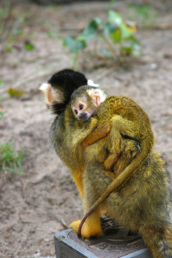 Kleiner Eichhörnchenfallhammer Lizenzfreies Stockbild