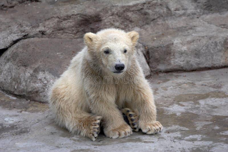 Kleiner Eisbär sitzt auf Steinen stockfotos